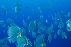 School of batfish Royalty Free Stock Photos