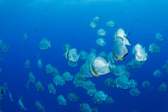 School of batfish. In the red sea royalty free stock photography