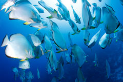 School of batfish stock photo
