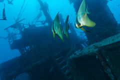 School of batfish near a sunken ship in the Maldives Royalty Free Stock Photos