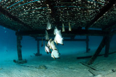 School of batfish under wooden bridge Stock Images
