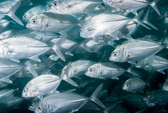 A school of big eye trevally Royalty Free Stock Image
