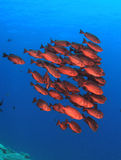 School of Bigeye Fish Royalty Free Stock Photos