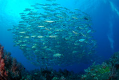 School of bigeye jack fish. In the tropical waters of Barren Island, Andamans, India Stock Images