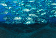 School of bigeye jack fish. On the shellow water at Barren island, Andamans, India Royalty Free Stock Images