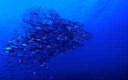 School of Bigeye jack fish (Caranx sexfasciatus). Biodiversity of Rangiroa atoll, Polynesia Royalty Free Stock Photography