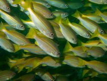 School of bigeye snapper Royalty Free Stock Image