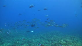 School of Bigeye Trevallies on a Coral Reef stock video