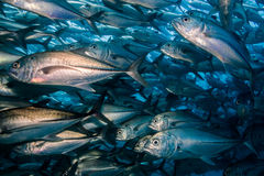 School of Bigeye Trevally (Caranx sexfasciatus) Royalty Free Stock Photography