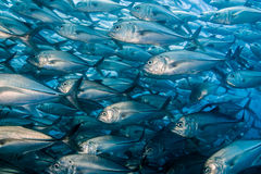 School of Bigeye Trevally (Caranx sexfasciatus) Stock Image