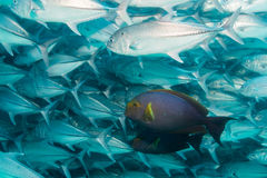 School of Bigeye Trevally (Caranx sexfasciatus) Royalty Free Stock Photo