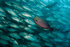 School of Bigeye Trevally (Caranx sexfasciatus) Royalty Free Stock Images