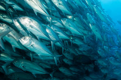 School of Bigeye Trevally (Caranx sexfasciatus) Royalty Free Stock Photos