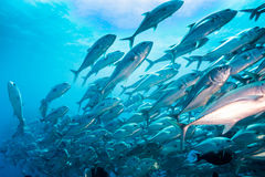 School of Bigeye Trevally (Caranx sexfasciatus) Stock Images