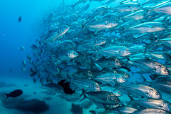 School of Bigeye Trevally (Caranx sexfasciatus) Royalty Free Stock Image