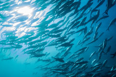 School of Bigeye Trevally (Caranx sexfasciatus) Stock Photos