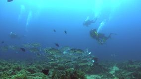 School of Bigeye trevally Caranx sexfasciatus  close to divers in Red sea stock video footage