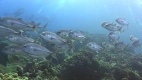 School of Bigeye trevally Caranx sexfasciatus in Red sea. Sudan stock footage