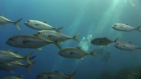 School of Bigeye trevally Caranx sexfasciatus in Red sea. Sudan stock video footage
