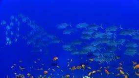 School of Bigeye trevally Caranx sexfasciatus in Red sea. Sudan stock video