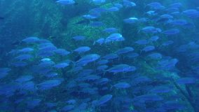 School of Bigeye trevally Caranx sexfasciatus on Roca Partida island from Revillagigedo Archipelago stock video footage