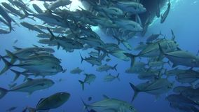 School of Bigeye trevally Caranx sexfasciatus under the boat  in Sanbenedicto island from Revillagigedo Archipelago stock video footage
