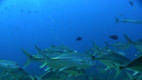 School of Bigeye trevally Caranx sexfasciatus with underwater photographer Red sea. Sudan stock video footage
