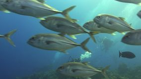School of Bigeye trevally Red sea stock video footage