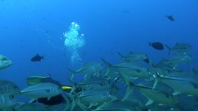 School of Bigeye trevally with underwater photographer n Red sea Sudan stock footage