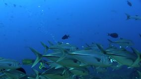 School of Bigeye trevally  with underwater photographer Red sea Sudan stock video footage
