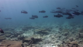 School of black fish on background seabed underwater in Maldives. stock video footage