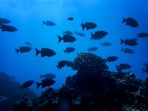 School of Black Fish Silhouette with One Coral Head in Deep Blue