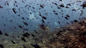 School of black fish underwater natural aquarium of sea and ocean. Unique unusual video footage. Abyssal relax diving stock footage