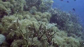 School of black fish underwater in ocean of wildlife Philippines. Travel in world of unique colorful beautiful ecosystem nature coral, algae, fish. Inhabitants stock footage