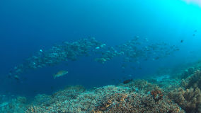 School of Black Snapper on a coral reef royalty free stock images