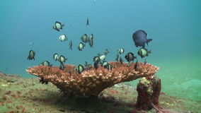 School black and white fish on coral on sea floor. School black and white fish on the coral on the sea floor. Amazing, beautiful underwater world Bali Indonesia stock video footage