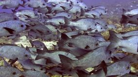 School of black and white snapper in Red sea stock video footage