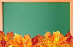 School blackboard with colorful autumn maple leaves Stock Images
