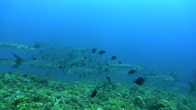 School of Blackfin barracuda Sphyraena qenie circling around coral plateau in Red sea. Sudan stock video footage