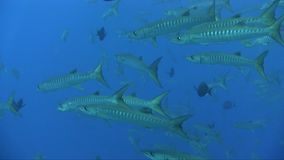School of Blackfin barracuda Sphyraena qenie circling around coral plateau in Red sea. Sudan stock footage