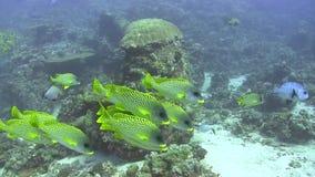 School of Blackspotted sweetlip Plectorhinchus gaterinusunder the coral in Red sea. Sudan stock video footage