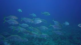School of Blacktip trevally Caranx heberi in Red sea stock video footage