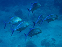 School of Blue Fin Trevally Fiji Stock Photography