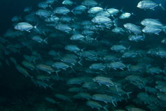 School of blue fish Royalty Free Stock Image