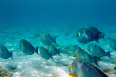 School of blue fish Royalty Free Stock Photo