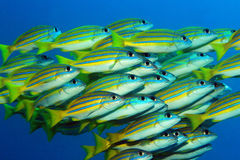 School of Blue-lined Snappers Stock Images