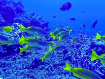 School of Blue Striped Snapper Yellow Tropical Fish Underwater stock images