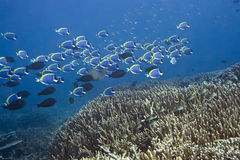 School of Blue Surgeonfishes. Underwater landscape with school of Blue Surgeonfishes (Acanthurus leucosternon).  Maldives. Indian ocean. Addu atoll Stock Photo