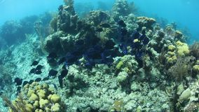 School of Blue Tang in Caribbean Sea. A school of Blue tang, Acanthurus coeruleus, swims over a coral reef on Turneffe Atoll, Belize, searching for algae to feed stock footage
