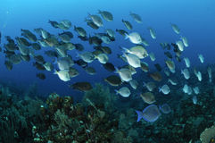 School of blue tang fish